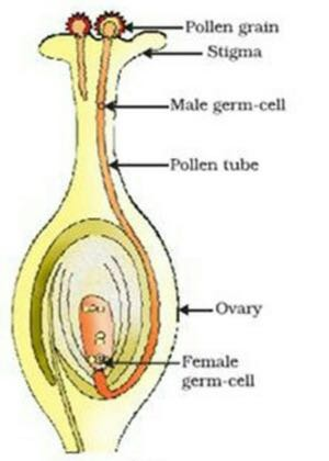 Ask questions for cbse class 10 biology how do organisms reproduce fertilization in flowering plants ccuart Image collections