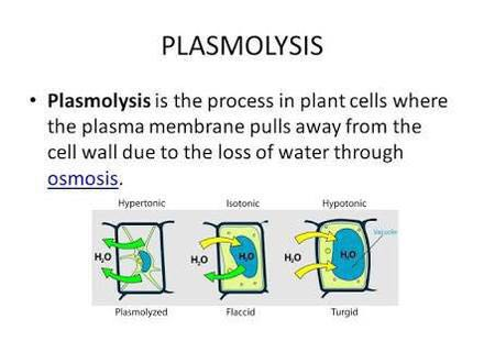 Diagram Of Plasmolysis | Wiring Diagram
